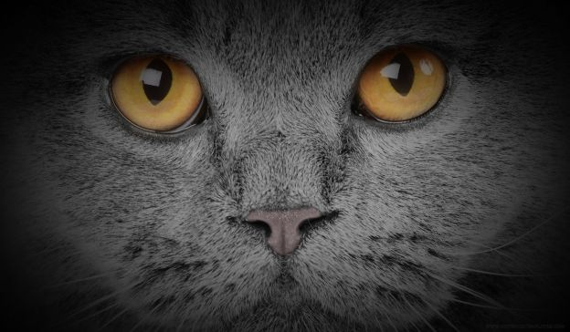 Email Template: British kitten